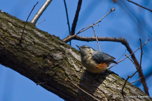 Kowalik #ptaki #przyroda #natura #kowalik