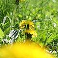 #wiosna #kwiaty #Bralin #mlecz #mniszek