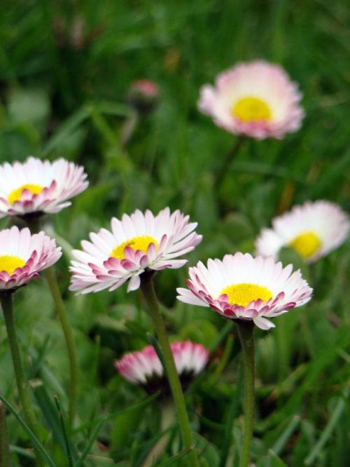 moje ulubione kwiatki #kwiaty #stokrotki #ogród