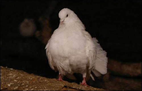 #ptaki #zwierzęta #gołębie