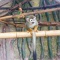 Sajmiri #małpka #sajmiri