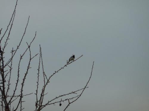 pliszka #ptak #pliszka #wiosna