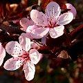 śliwowiśnia=) #kwiat #kwiatki #kwiaty #kwiatek #śliwowiśnia #śliwowiśnie #wiosna #Wiosna2010