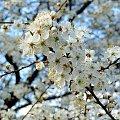 kwiaty mirabelki :) #wiśnia #kwiaty #kwiat #kwiatek #mirabelka #wiśnie #mirabelki #Wiosna2010 #wiosna