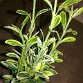 trzmielina emerald #krzewy