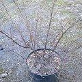 pięciornik #krzewy
