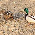 parka... :) #fauna #kaczka #krzyżówka #ptak