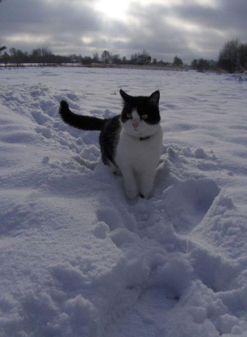 Buszująca w śniegu... ;) #koty