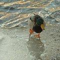 Nad Czarną Hańczą #kaczka #kaczki #kaczor #ptak #ptaki #zima #rzeka #Suwałki #CzarnaHańcza