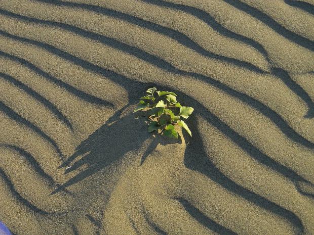 kwiat pustyni:))