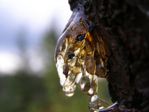 Następna żywica.... #Żywica #drzewo #bursztyn #las