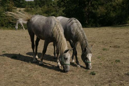 Lipicany rodzą się szare, gniade lub kare, dopiero między 5 a 10 rokiem życia ich maść zmienia się na siwą. #Słowenia #konie #lipicany