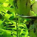 #skslar #ikra #woda #roślina #samiec #samica #tarło