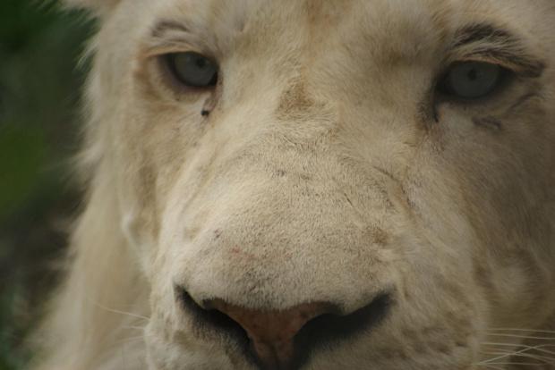 Biały lew #BiałyLewMakroZwierzęta