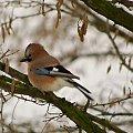 #ptaki #sójka