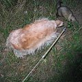 2 ryjące futrzaki #Dudi #fretka #pies #Smoczaste #Smok