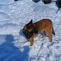 Ktos tu idzie! zaraz będzie mój! #melcia #melka #zima #pies #dog #suka #suczka #młody #szczeniak #mróz #snieg #zaspy #szalenstwo #szaleństwo #uszy #nos #piesek #gryzon #luty #piesio #owczarek #niemiecki #ogon #łapy #zabawa
