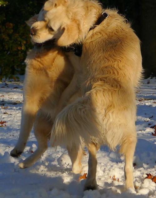 dwa goldeny #golden #pies #psy #zwierzęta
