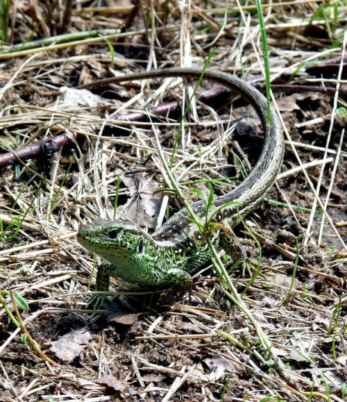 #jaszczurka #natura #zwierzęta #przyroda
