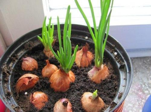 Znalezione obrazy dla zapytania: hodowla cebuli opis doświadczenia