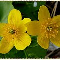 kaczeńce #makro #kaczeńce #kwiaty #wiosna #ogród