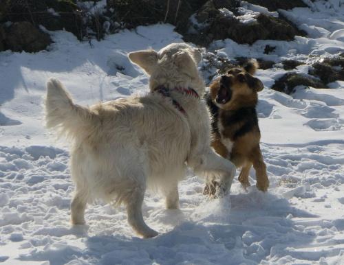 zabawy na śniegu #zwierzęta #psy #pies #GoldenRetriver