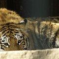 #zoo #kotek #tygrys #natura #piękno #przyroda #zwierzę #Ostrava #CzeskieZoo #wycieczka